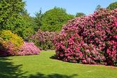 Rhododendron and Azalea Bushes in Beautiful Summer Garden — Stock Photo