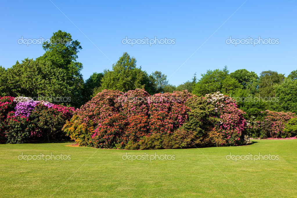 Colorful Rhododendron Bushes in Beautiful Lush Sunny Garden under Blue Sky in Daytime — Stock Photo #11010396