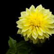 Royalty-Free Stock Photo: Beautiful Yellow Dahlia on Black Background Studio Shot
