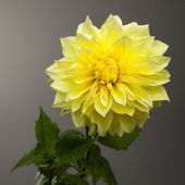 Beautiful Yellow Dahlia on Graduated Grey Background — Stock Photo