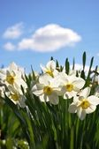 Daffodils in the sky. — Stock Photo