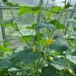 Stock Photo: Flowers and fruits of cucumber in greenhouse.