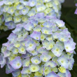 Blue hydrangein flower — Stock Photo #11134203