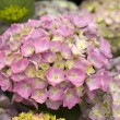 Pink hydrangea flowers — Stock Photo