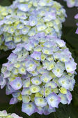 Blue hydrangea in flower — Stock Photo