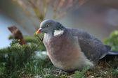 Wood pigeon(Columba palumbus) — Stock Photo