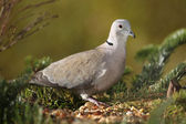 Collared pigeon(Streptopelia decaocto) — Stock Photo
