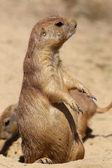 Cute little prairie dog in characteristic posture — Stock Photo