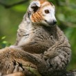 Stock Photo: Crowned lemur (Eulemur coronatus)