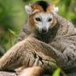 Коронованный лемур (кошачий coronatus) — Стоковое фото