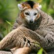 Crowned lemur (Eulemur coronatus) — ストック写真
