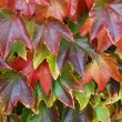 Stock Photo: Autumnly colored red leaves