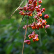 Stock Photo: Seeds of spindle tree
