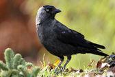 Jackdaw (corvus monedula) — Stok fotoğraf