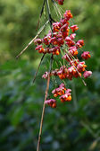 Seeds of the spindle tree — Stock Photo