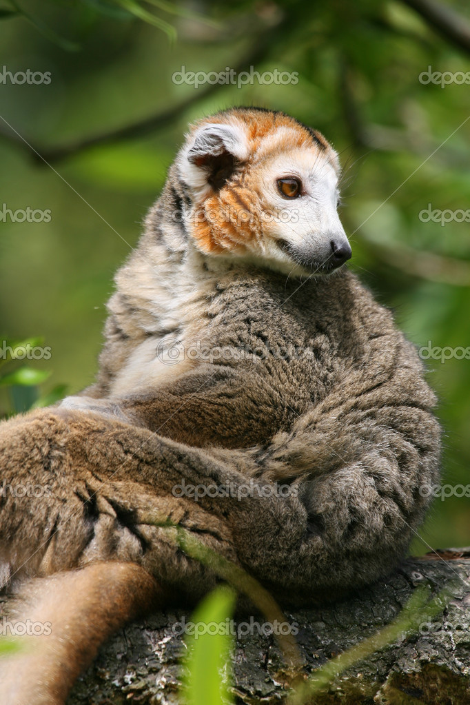 Crowned lemur (Eulemur coronatus) sitting on a branch of a tree  — Stock Photo #11832562