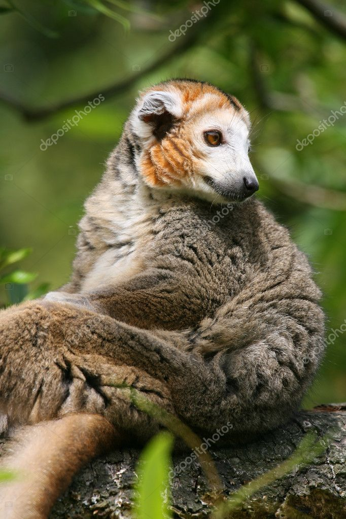 Crowned lemur (Eulemur coronatus) sitting on a branch of a tree  — Stockfoto #11832562