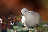 Collared pigeon(Streptopelia decaocto) — Стоковое фото
