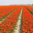 Stock Photo: Rows of orange tulips