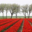 Stock Photo: Tulip field