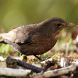 Blackbird(merula Turdus) — Stock Photo