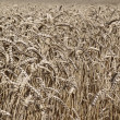 Dutch wheat field — Stock Photo