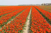 Rows of orange tulips — Stock Photo