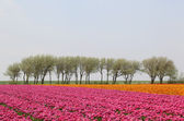 Tulip field with row of trees — Stock Photo
