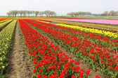Different colorful rows of tulips on a tulip field — Stock Photo