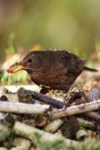 Blackbird (merula Turdus) — Stock Photo