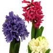Colorful flowering hyacinths — 图库照片