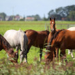 Horses grazing on a pasture — Stock Photo