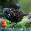 Starling (sturnus vulgaris) feeding on an apple — Stock Photo