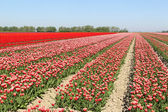 Tulip field with rows of colorful flowers — Stock Photo