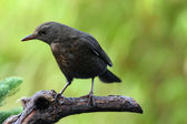 Blackbird (Turdus merula) — Stock Photo