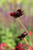 Flowering chocolate plant (Cosmos atrosanguineus) — Stock Photo