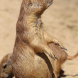 Cute little prairie dog in characteristic posture — Stock Photo