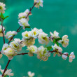 Stock Photo: White Cherry Blossom