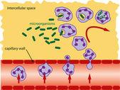 Leucocitos — Vector de stock