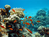 Coral reef with corals and exotic fishes — Stock Photo