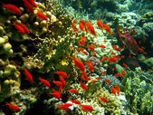 Coral reef with exotic fishes — Stock Photo