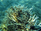 Coral reef with stony coral — Stock Photo