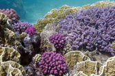 Colorful coral reef wih hard and soft corals — Stock Photo