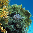 Coral reef on the bottom of sea — Stockfoto