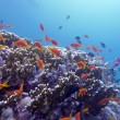 Coral reef with orange fishes — Stok fotoğraf