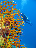 Coral reef with diver — Stock Photo