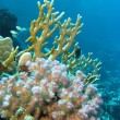 Coral reef on the bottom of red sea — Stock Photo