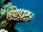 Coral reef and stony coral — Stock Photo