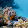 Colorful coral reef on the bottom of red sea and diver — Stock Photo