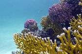 Colorful coral reef on the bottom of red sea — Stock Photo